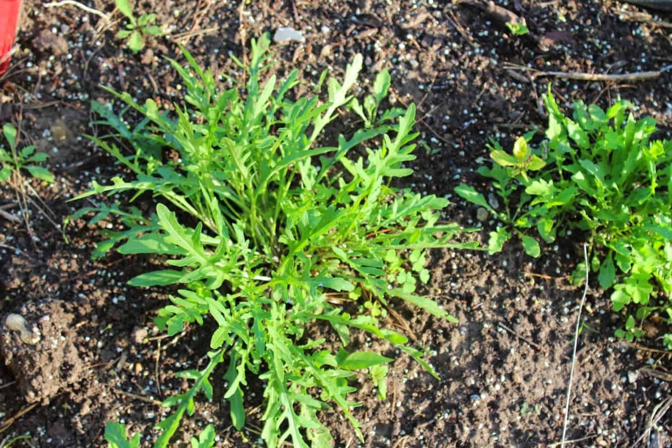 Perennial Arugula Saratoga Seed