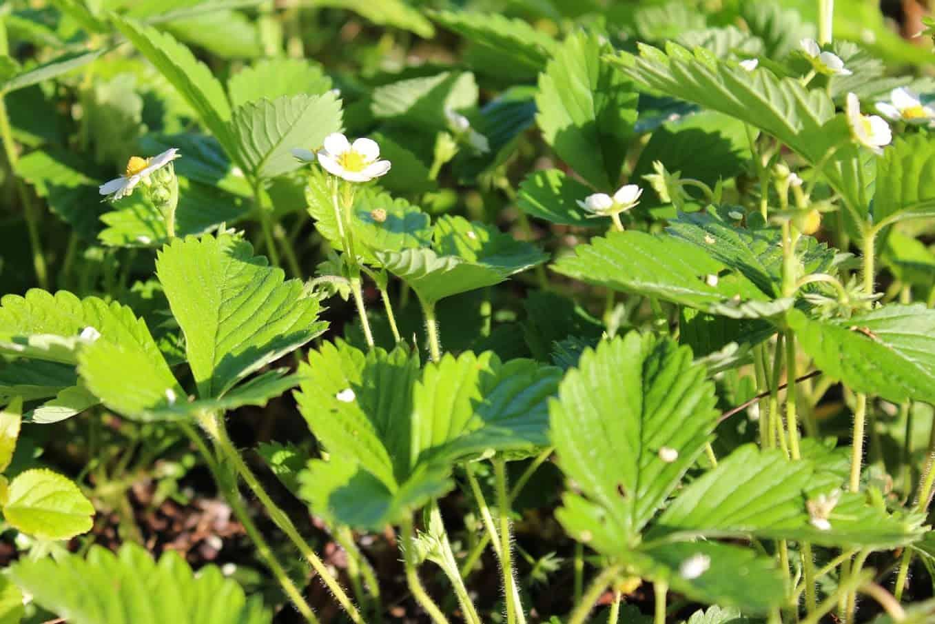 Wild Strawberry Plants - Saratoga Seed