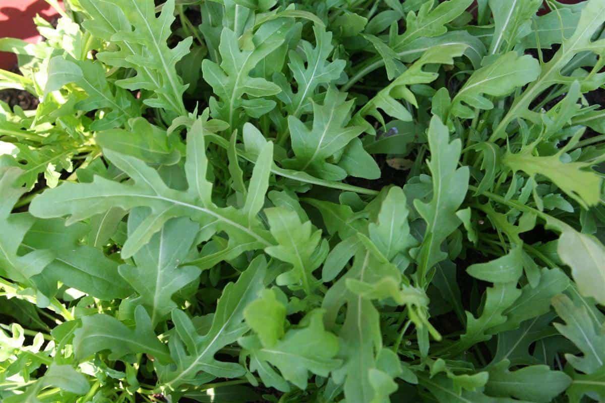 Arugula plants, Saratoga Seed