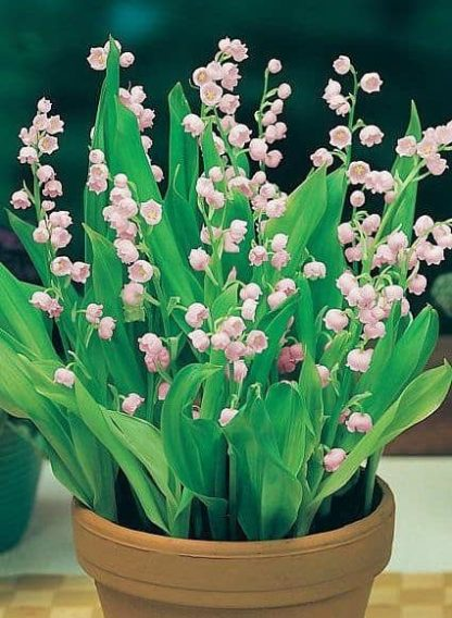 saratoga seed company pink lily of the valley plants
