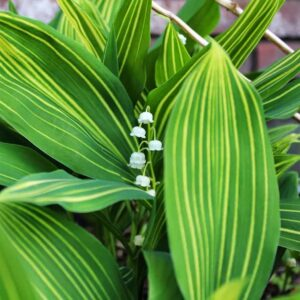 saratoga seed variegated white lily of the valley plants