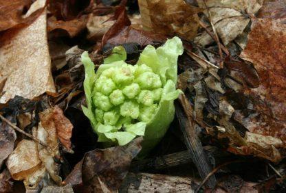 saratoga seed variegated fuki