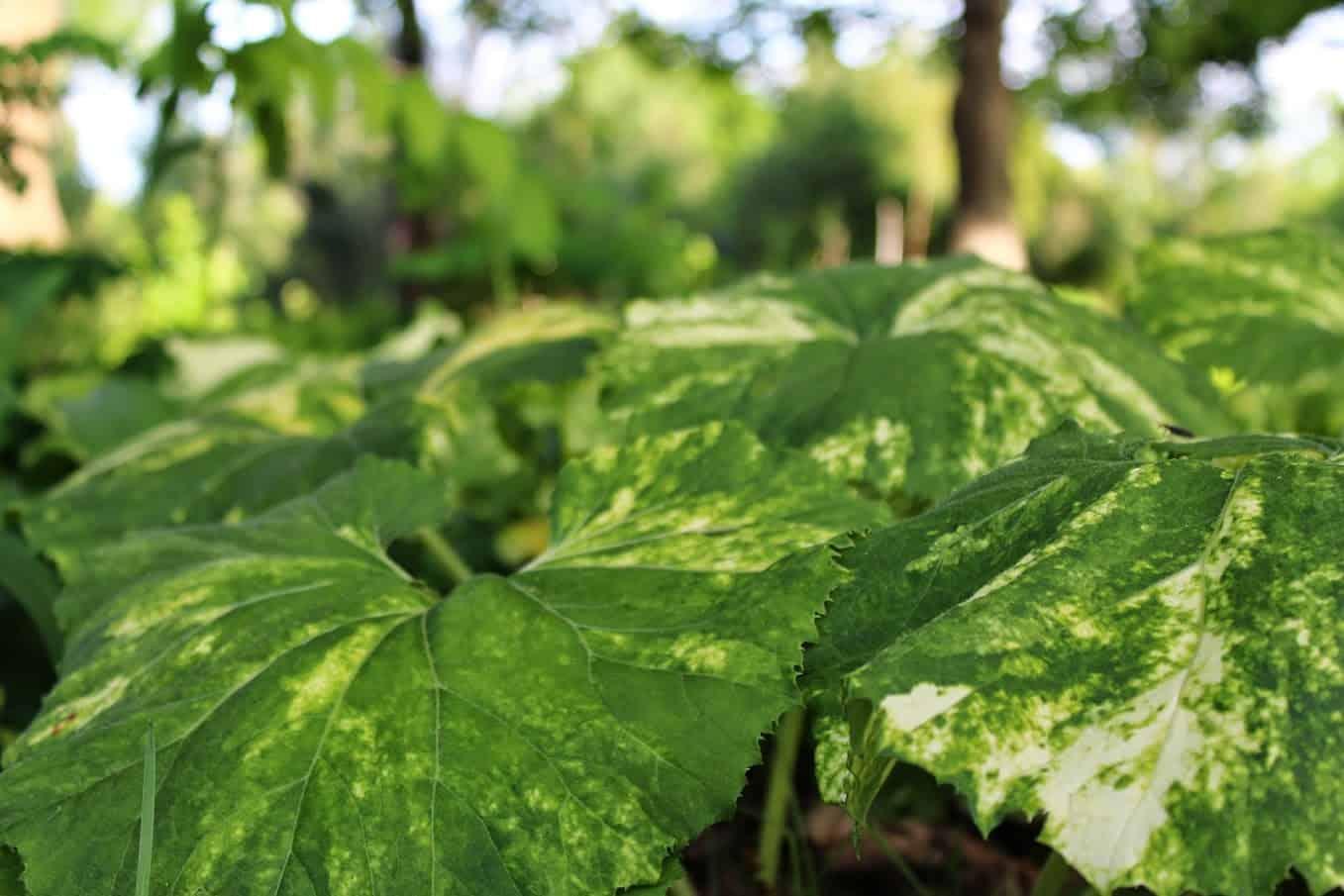 Saratoga Seed Petasites Variegated