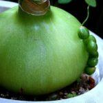saratoga seed pregnant onion bulb