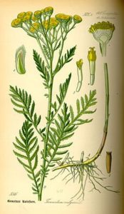 Saratoga Seed, Wild Tanacetum