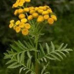 Wild Tansy, Tanacetum vulgare plants for sale