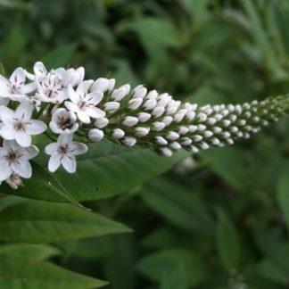 Live Plants, Gooseneck Loosestrife, Lysimachia clethroides Saratoga Seed