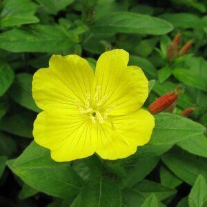 Oenothera, sundrops, evening primrose, suncups