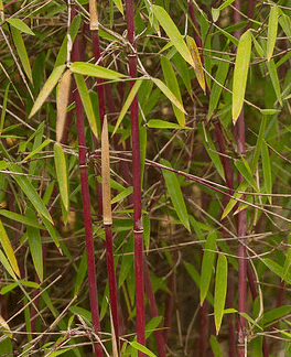 saratoga seed red bamboo plants