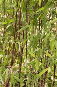 Saratoga Seed clumping red bamboo