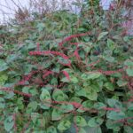 Persicaria virginiana 'lance corporal' Saratoga Seed