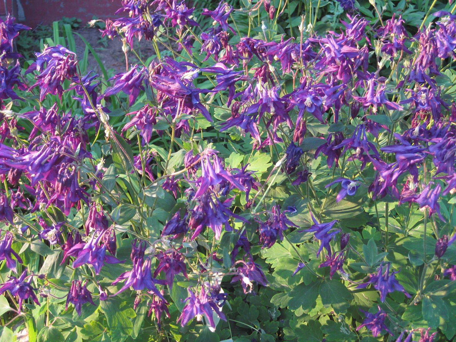 saratoga seed, aquilegia vulgaris seeds