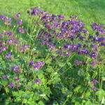 saratoga seed, purple columbine seeds